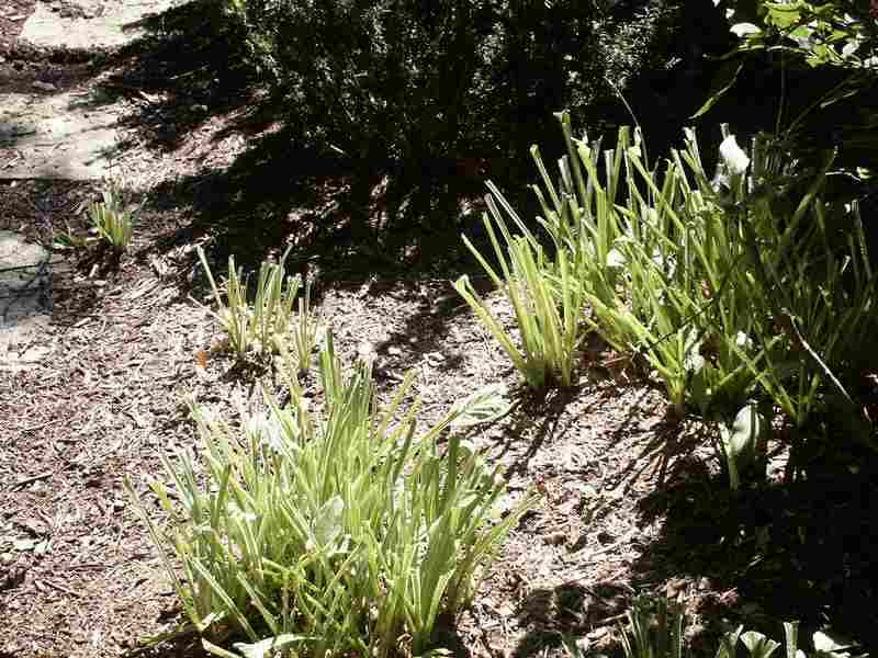 Deer damage on hosta plants